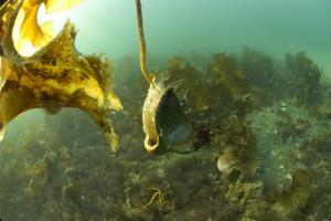 Det er funnet mange hanseatiske krukker som plukkes opp fra sjøbunnen på Avaldsnes. Trolig er til mye mer nedover i mudderet. Foto Pål Nymoen